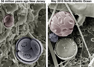 Coccolithophores 56 million years agao and in 2013