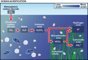 The chemical process of ocean acidification. Adapted from a graphic by the University of Maryland.